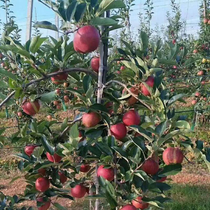 苹果、柑橘、荔枝等果树施肥技巧