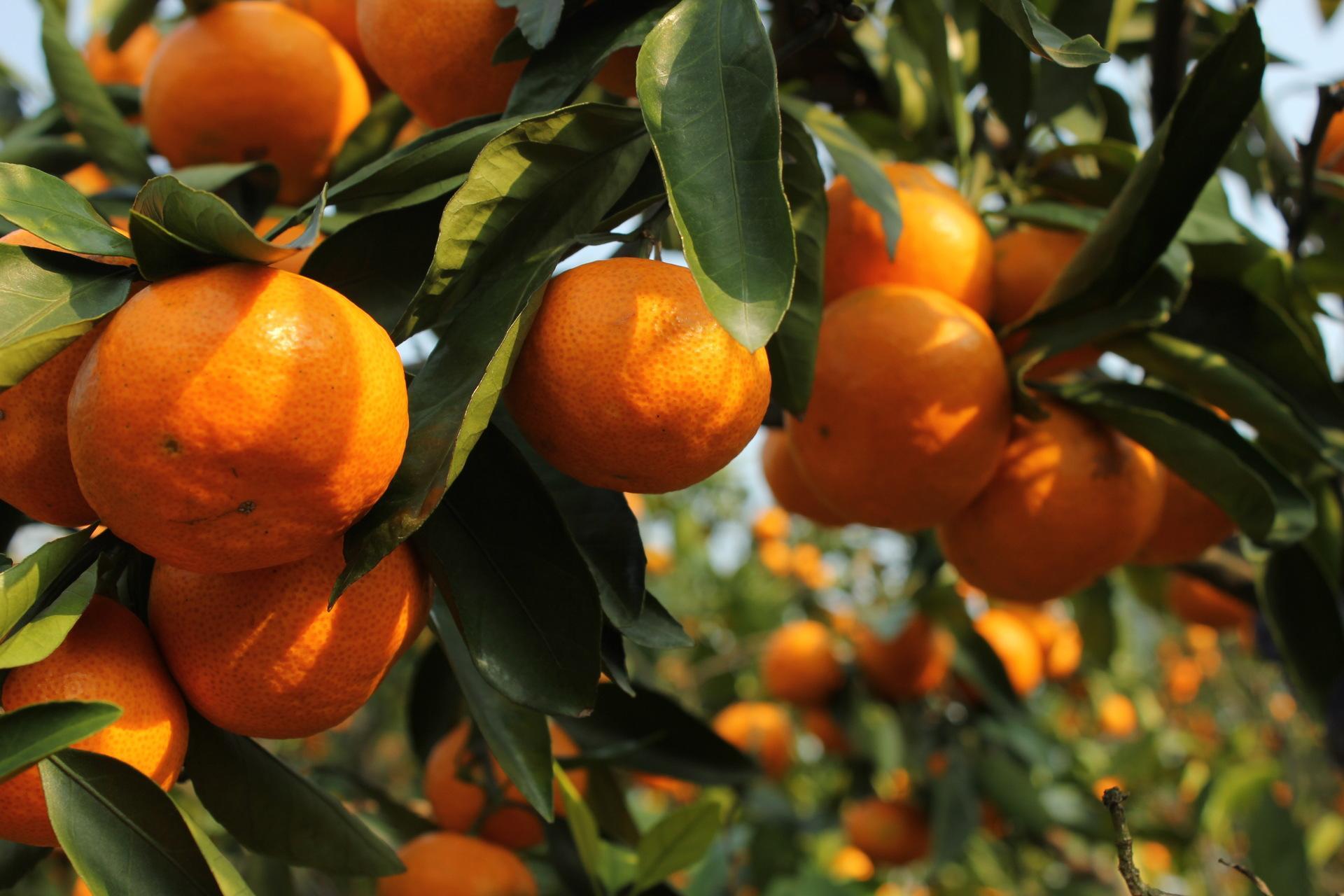 柑橘施肥技巧