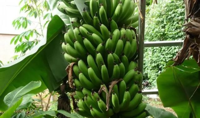 香蕉树雷火竞猜育肥方法